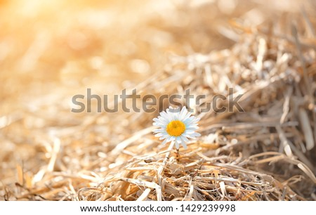 summer season concept. chamomile flower in haystack. Nature rural landscape with straw hay and daisy, sunny day. copy space #1429239998