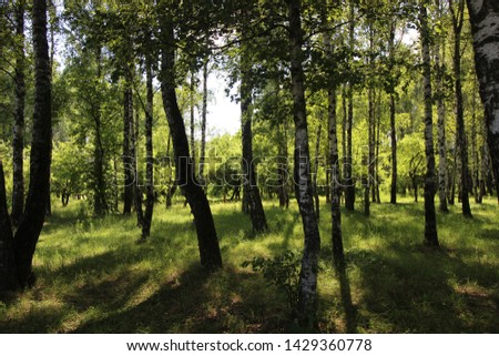 Silence in a birchwood in Tula #1429360778