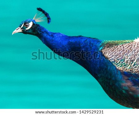 Portrait of a blue peacock in nature . #1429529231