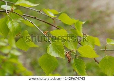 Beautiful nature green in early spring with fresh green leaves. Green birch young leaves. #1429674743
