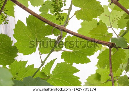 Vitis vinifera. leaf pattern. green leaves and grapes. Spring. #1429703174