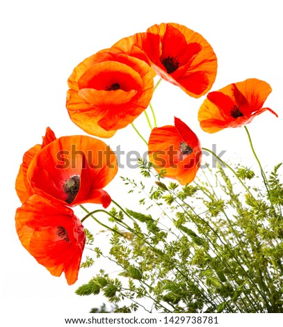 green grass and red poppies isolated on a white background