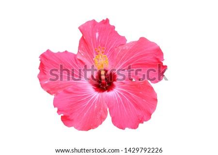 Hawaiian pink hibiscus flower isolated on white  #1429792226