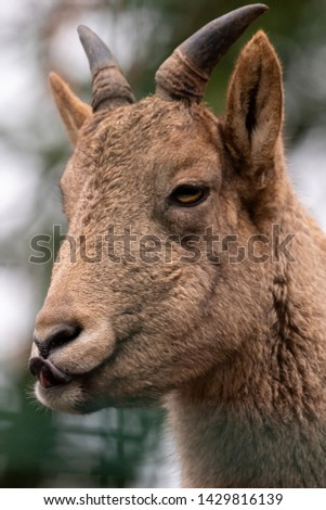 a close up of an animal looking at the camera #1429816139
