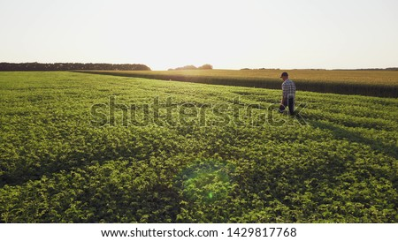 Farmer inspects chickpea growth walking through the field. Fresh green chickpeas field at sunset. Rear view, wide angle  #1429817768