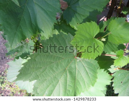 Grape leaves and vines climbing up the house #1429878233