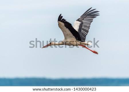 Stork Flying Over Wetlands in Latvia #1430000423