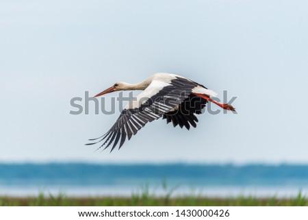 Stork Flying Over Wetlands in Latvia #1430000426