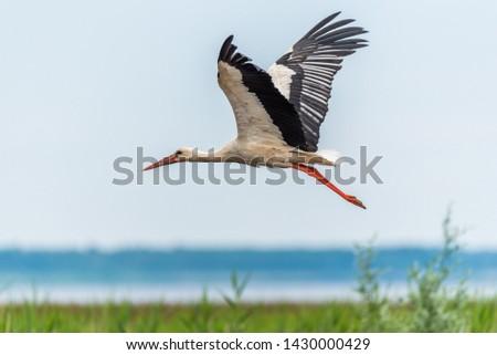 Stork Flying Over Wetlands in Latvia #1430000429