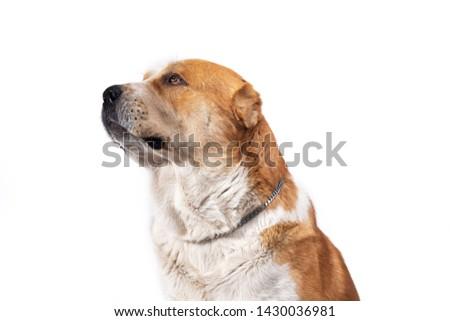 Central Asian Shepherd Dog  #1430036981