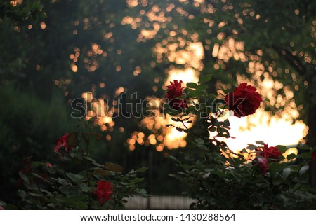 Red Rose branches with Sunset background #1430288564