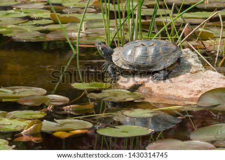 A Red-eared Slider Turtle whose shell is moulting is resting on a rock basking in the afternoon sun. Also known as a Red-eared Terrapin. Centennial Park, Toronto, Ontario, Canada. #1430314745