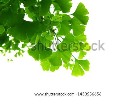 Ginkgo biloba green leaves on a tree. Ginkgo Biloba Tree Leaves on light sky. #1430556656