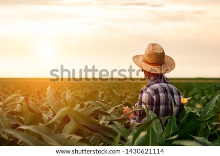 Rear view of senior farmer standing in corn field examining crop at sunset. #1430621114