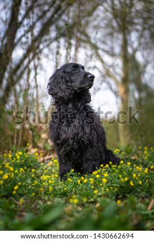 Beautiful cocker spaniel portrait outdoor #1430662694