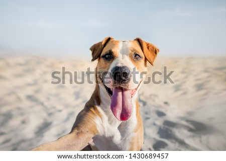 Happy smiling dog taking self portrait on the beach. Portrait of a cute staffordshire terrier imitating a selfie shot by the sea in the summer #1430689457