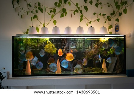 Big aquarium with colorful discus fishes, Symphysodon  of amazon river in South America.