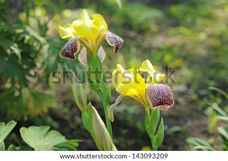 Yellow irises in the garden #143093209