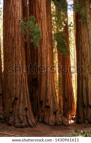 Hiker in Sequoia national park in California, USA #1430961611