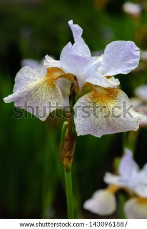 Iris sibirica (sort Salamander) in garden.Siberian iris or Siberian flag in natural background. #1430961887