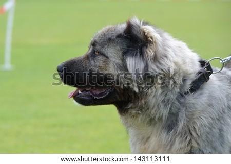 Caucasian Shepherd, working test #143113111