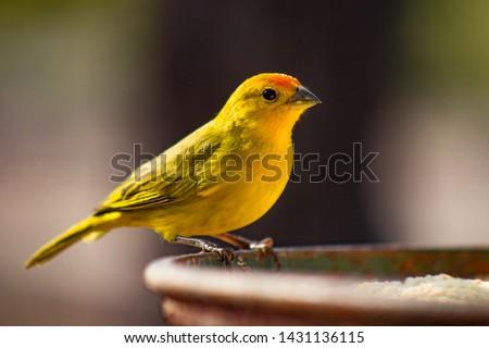 Canário-da-terra-verdadeiro (Sicalis flaveola). The true canary (Sicalis flaveola). Sitting feeding. #1431136115