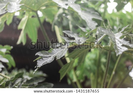 Leaves that are being rainy #1431187655