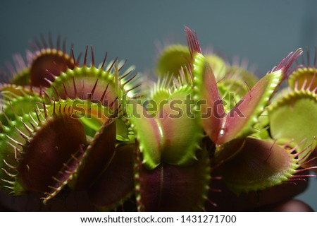 Dionaea Muscipula Typical form. Venus Flytrap - Predatory plant, Carnivorous Plant Royalty-Free Stock Photo #1431271700