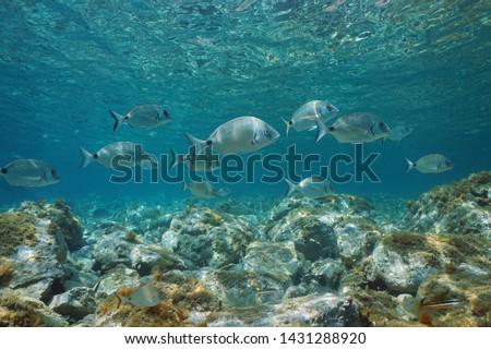 Sargo seabream fish, Diplodus sargus, underwater in Mediterranean sea between water surface and rocks on the seabed, France #1431288920