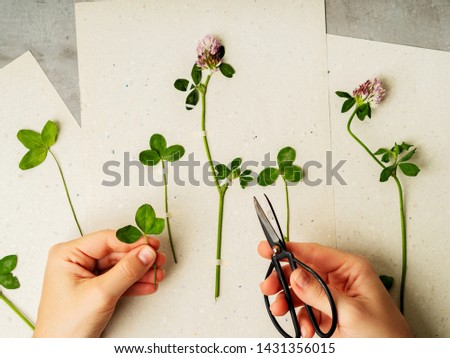 Female hands making herbarium from clover on craft paper. Dried herbs and dried flowers for making herbarium. Floral background.  #1431356015