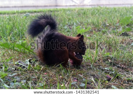 Photograph of a background with a squirrel gnawing a pine cone on the grass in the park. #1431382541
