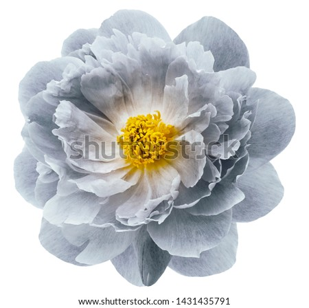 light gray peony flower isolated on  a white  background with clipping path  no shadows. Closeup.  Nature. #1431435791