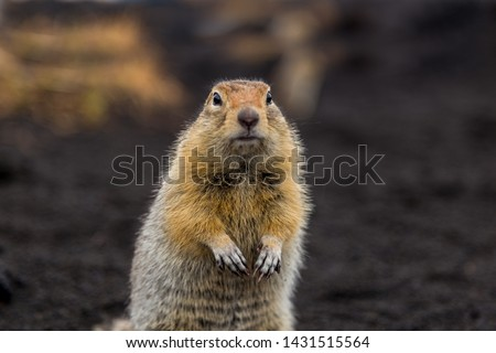 A charming gopher looks straight into the camera. Forelegs are folded at the chest. Portrait of a wild gopher. A resident of Kamchatka.