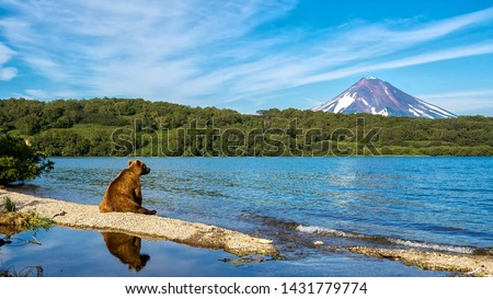 Russia, Kamchatka. Kronotsky Reserve. The bear sits on the shore of the Kurile lake and looks towards the Ilyinsky volcano. #1431779774