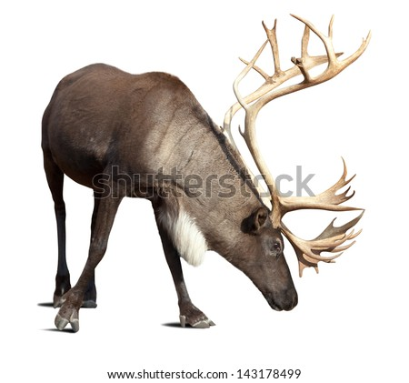 Large male reindeer. Isolated over white with shade Royalty-Free Stock Photo #143178499