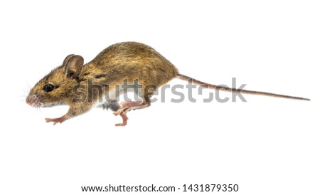 Running Wood mouse (Apodemus sylvaticus) isolated on white background. This cute looking mouse is found across most of Europe and is a very common and widespread species. #1431879350