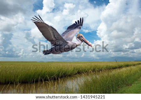 Brown Pelican in Flight Over Marshlands at Grand Isle Louisiana Against Cloudy Sky Royalty-Free Stock Photo #1431945221