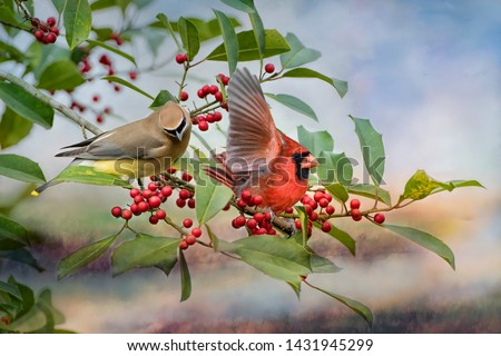 Cedar Waxwing and Male Northern Cardinal on Bough of American Holly Tree Laden with Red Berries #1431945299