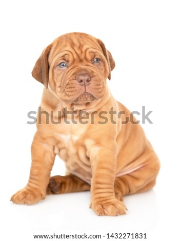 Bordeaux puppy sitting and looking at camera. isolated on white background #1432271831
