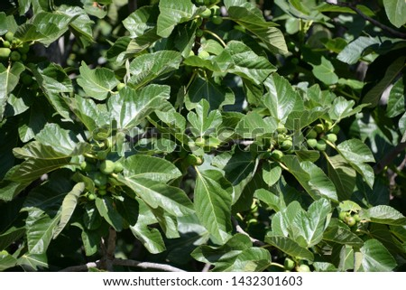 small figs and fresh leaves on the fig tree, Costa Blanca, Spain #1432301603
