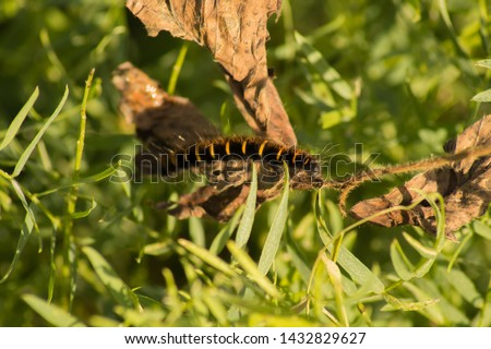 Black caterpillar with yellow stripes (orange stripes).Striped caterpillar.Black and orange caterpillar in green grass.Larva of insects from the order of Lepidoptera.Beautiful caterpillar.Landscape. #1432829627