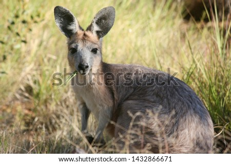 Young Kangaroo eating grass in the bush in Melbourne Australia #1432866671