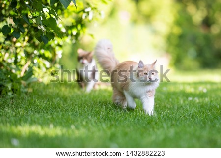 front view of a beige white maine coon cat with fluffy tail walking away from tabby british shorthair cat in the back yard on a sunny day #1432882223