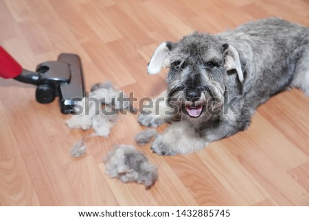 Vacuum cleaner, ball of wool hair of pet coat and schnauzer dog on the floor.   Shedding of pet hair, cleaning. #1432885745