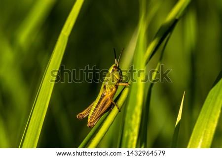 Grasshopper sitting on a blade of grass. Green grasshopper, closeup. Field nature