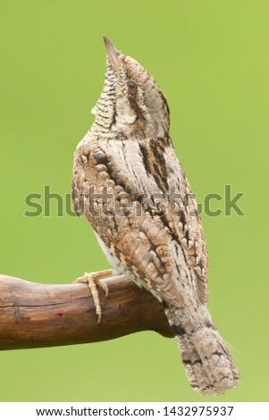 portrait closeup Lynx tortilla (Picidae) #1432975937