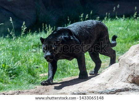 A black panther is the melanistic color variant of any big cat species. Black panthers in Asia and Africa are leopards (Panthera pardus), and those in the Americas are jaguars (Panthera onca). #1433065148