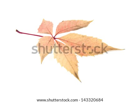 the leaf of grape isolated on white background #143320684