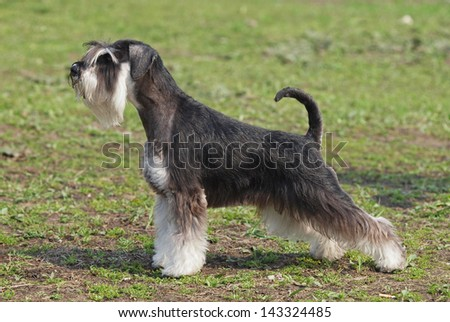 the dog of breed of mittelschnauzer demonstrates an excellent  exterior on a natural green background #143324485