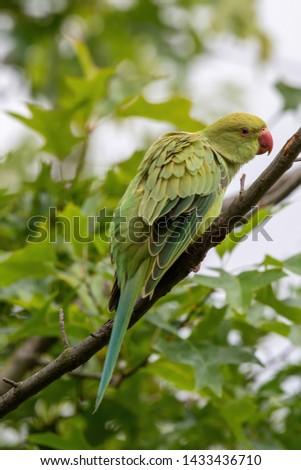 Rose-ringed Parakeet, Psittacula krameri, also known as Ring-necked Parakeet, the beautiful green and red parrot bird with nice feathers details #1433436710